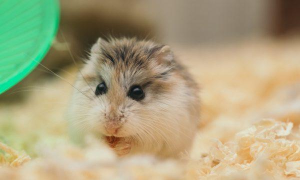 Sødt lille hamster spiser
